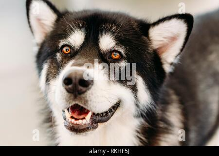 Gray Happy Adult Alaskan Malamute Dog Close Up Portrait. - Stock Photo