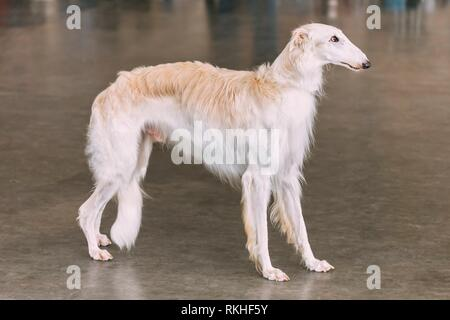 White Dog Russian Borzoi Wolfhound On Floor Indoors. - Stock Photo