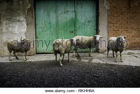 Sheep eating on the farm, pet detail. - Stock Photo