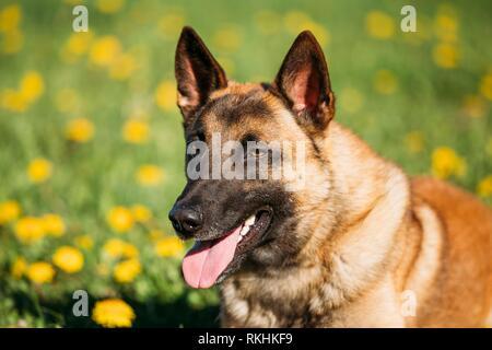Close Up Of Malinois Dog. Belgian Shepherd Dog Resting In Green Grass. - Stock Photo