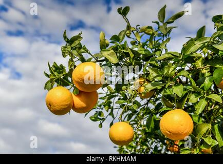 Grapefruit (Citrus x paradisi), fruits hanging on tree, Cyprus - Stock Photo