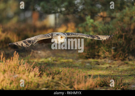 Eastern Siberian Eagle Owl, Bubo bubo sibiricus, flying in forest - Stock Photo