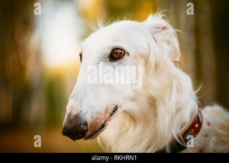 White Russian Hunting Dog, Sighthound, Russkaya Psovaya Borzaya, Psovoi. Close Up Portrait. - Stock Photo