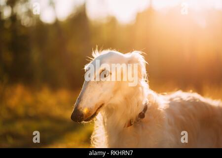 Close up of White Russian Hunting Dog, Sighthound, Russkaya Psovaya Borzaya, Psovoi. Sunset sunlight. - Stock Photo