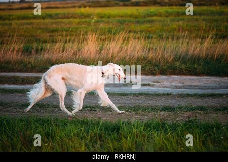 White Russian Borzoi Gazehound Fast Running In Summer Meadow. These Dogs Specialize In Pursuing Prey, Keeping It In Sight, And Overpowering It By - Stock Photo