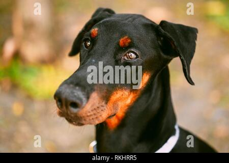 Young, Beautiful, Black And Tan Doberman. Dobermann Is Breed Known For Being Intelligent, Alert, And Loyal Companion Dogs. - Stock Photo