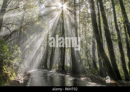 Morning sunbeams through Coast Redwoods. - Stock Photo