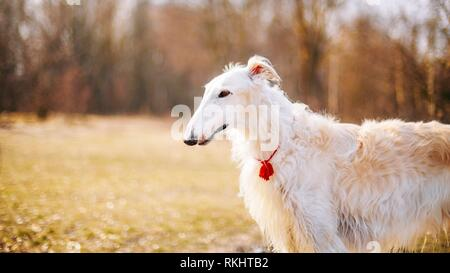 White Russian Wolfhound Dog, Borzoi, Russian Hunting, Sighthound, Russkaya Psovaya Borzaya, Psovoi. Spring Autumn Time, Outdoors Close Up Portrait. - Stock Photo