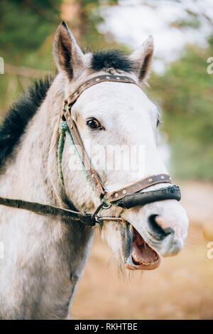 Funny Portrait Of White Horse. Close Up Snout. - Stock Photo