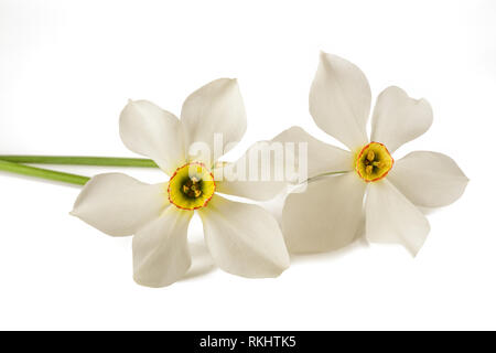 White daffodils (Narcissus poeticus) isolated on white background - Stock Photo