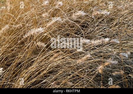 Frost melting in winter sunshine on decorative grasses seed heads. - Stock Photo