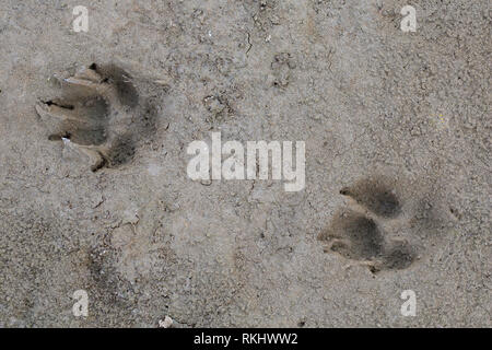 Red fox (Vulpes vulpes) close-up of footprints in wet sand / mud - Stock Photo