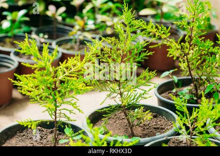 Small Green Sprouts Of Spruce Or Fir-tree Tree Plant With Leaf, Leaves Growing From Soil In Pots In Greenhouse Or Hothouse. Spring, Concept Of New - Stock Photo