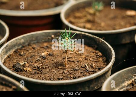 Small Green Sprouts Of Cedar Tree Plant With Leaf, Leaves Growing From Soil In Pot In Greenhouse Or Hothouse. Spring, Concept Of New Life. - Stock Photo
