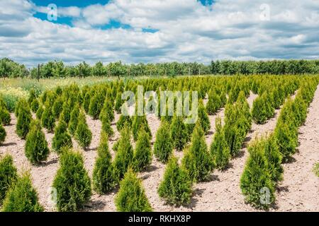 Gomel, Belarus. The Summer Spring Plantation Of Thuja Or Thuya Seedlings, Planted Rows On Sandy Soil. Coniferous Small Bushes. The Forest Background. - Stock Photo