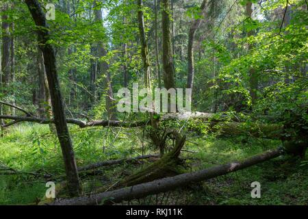 Barkless dead spruces in old summertime deciduous stand,Bialowieza Forest,Poland,Europe. - Stock Photo