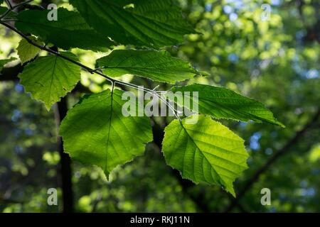 Hazelnut branch leaves in sun against blurry forest background, Bialowieza Forest, Poland, Europe. - Stock Photo