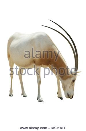Beautiful Addax isolated on white background. - Stock Photo