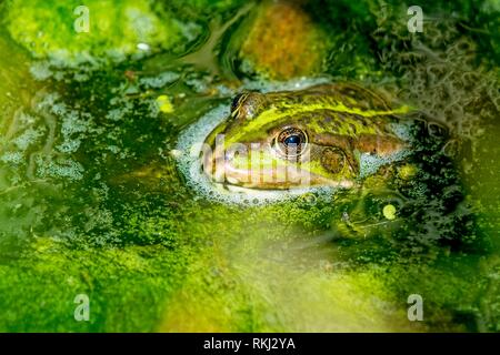 common water frog in a pond. - Stock Photo