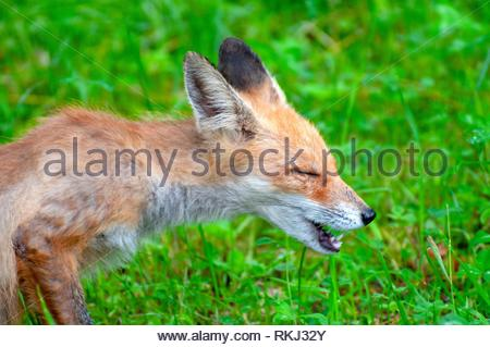 Close up shot of a young sneezing fox. - Stock Photo