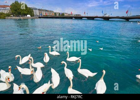 Geneva swans Geneve at Leman lake in Switzerland Swiss. - Stock Photo