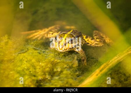 common water frog in a pond in Germany - Stock Photo