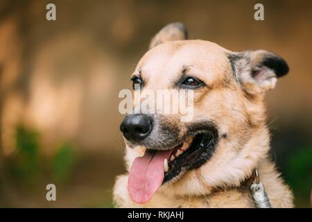 Close Up Of Medium Size Mongrel Mixed Breed Short-Haired Yellow Adult Female Dog With Tongue In Collar On Brown Background. - Stock Photo