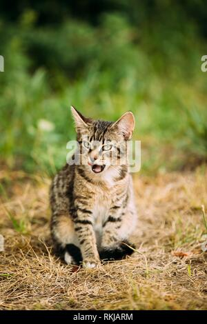 Cute Tabby Gray Cat Kitten Licked In Grass Outdoor At Sunny Summer Evening. Small Cat Sitting In Grass And Washes Its Muzzle. - Stock Photo