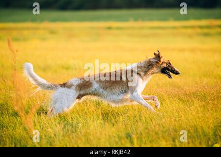 Wet Russian Dog, Borzoi Fast Running In Summer Sunset Sunrise Meadow Or Field. - Stock Photo