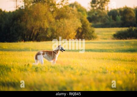 Russian Dog, Borzoi In Summer Meadow Or Field At Sunset Sunrise. - Stock Photo