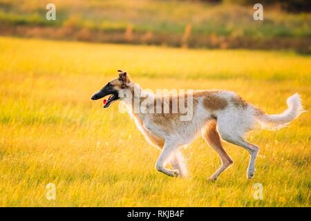Russian Dog, Borzoi Running In Summer Sunset Sunrise Meadow Or Field. - Stock Photo