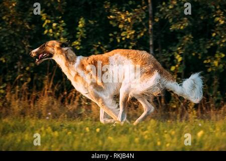 Russian Dog, Borzoi Fast Running In Summer Sunset Sunrise Meadow Or Field. - Stock Photo