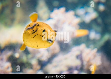 Yellow Blackspotted Puffer Or Dog-faced Puffer Fish Arothron Nigropunctatus Swimming In Water. If Not Prepared Properly, Toxin Found In Pufferfish - - Stock Photo