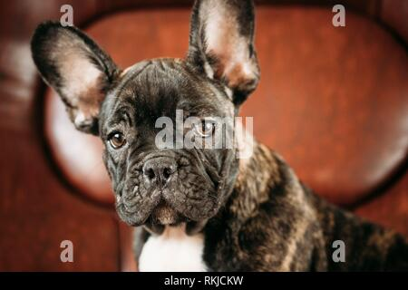 Close Up Potrait Of Young Black French Bulldog Dog Puppy With White Spot Sit On Red Sofa Indoor. Funny Dog Baby. - Stock Photo