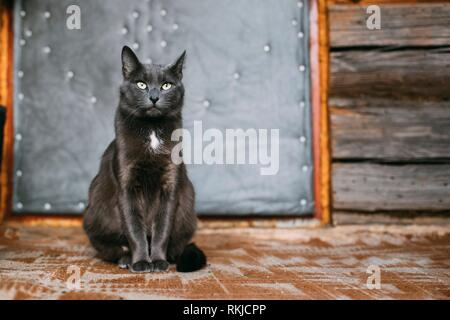 Russian Blue Cat Kitten With Green Eyes Resting On Porch Of An Old Village Rustic House. - Stock Photo