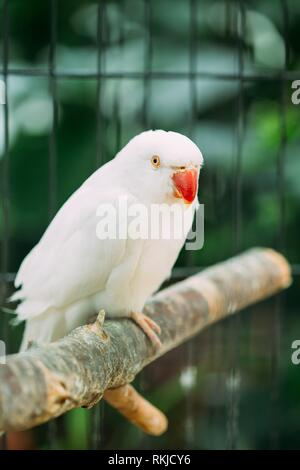 Rose-ringed Parakeet Also Known As The Ring-necked Parakeet In Zoo. Wild Bird In Cage. - Stock Photo