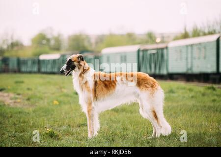 Russian Dog, Borzoi Gazehound Posing Outdoor On Train Background. - Stock Photo