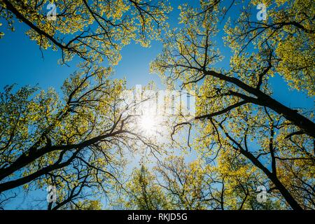 Sun Shining Through Canopy Of Tall Trees With Young Spring Folliage Leaves. Sunlight In Deciduous Forest, Summer Nature. Upper Branches Of Woods. - Stock Photo