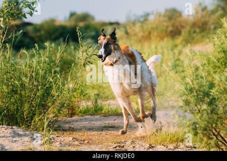 Running Adult Russian Wolfhound Hunting Sighthound Russkaya Psovaya Borzaya Dog Outdoors In Sunny Summer Day. - Stock Photo