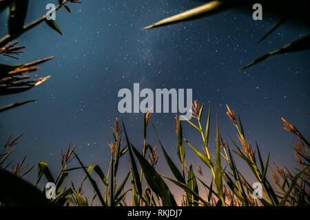 Bottom View Of Natural Night Starry Sky With Milky Way From Green Maize Corn Field Plantation In Summer Agricultural Season. Night Stars Above - Stock Photo