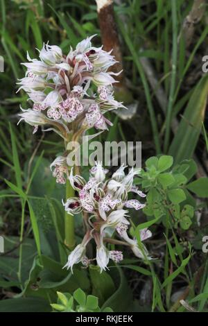Milky Orchid (Neotinea lactea) flowering on the island of Malta in  southern Europe. - Stock Photo