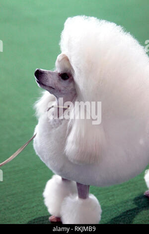 New York, United States. 11th Feb, 2019. Westminster Dog Show - New York City, 11 February, 2019: A Toy Poodle awaits judging during the Best of Breed Competition at the 143rd Annual Westminster Dog Show in New York City. Credit: Adam Stoltman/Alamy Live News - Stock Photo