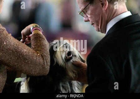 New York, United States. 11th Feb, 2019. Westminster Dog Show - New York City, 11 February, 2019: A Tibetan Terrier during judging for the Best of Breed Competition at the 143rd Annual Westminster Dog Show in New York City. Credit: Adam Stoltman/Alamy Live News - Stock Photo