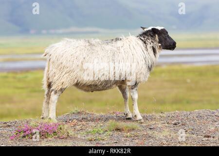 Single Icelandic sheep in the typical Icelandic scenery. - Stock Photo