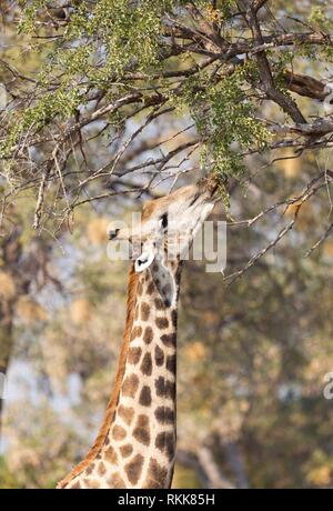 Giraffe (Giraffa camelopardalis) eating fresh leaves from a tree. - Stock Photo