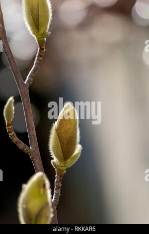 Magnolia buds growing in the late winter sunshine. - Stock Photo