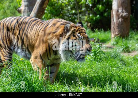 A prowling Sumatran Tiger. The Sumatran tiger is one of the smallest tigers, about the size of a leopard, and is critically endangered. - Stock Photo
