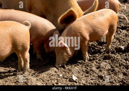 A litter of Tamworth piglets and a sow in a muddy field. - Stock Photo