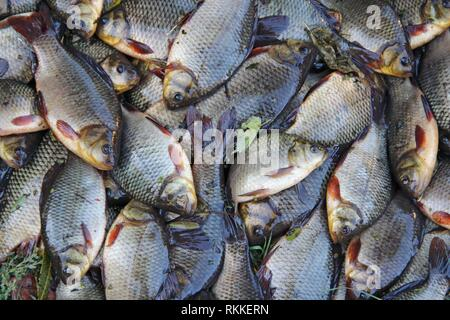 Caught crucians. Successful fishing. A lot of crucian carp Carassius carassius. Freshly caught river fish. Caught fishes after lucky fishing. Crucian - Stock Photo