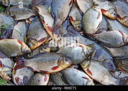Caught crucians on green grass. Successful fishing. A lot of crucian carp. Freshly caught river fish. Caught fishes after lucky fishing. Crucian - Stock Photo